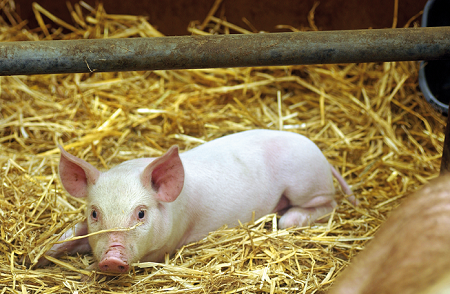 Pig Grower Feed Results | Farmix Feed produces | High